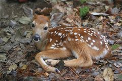 White-tailed Deer Fawn stock photos