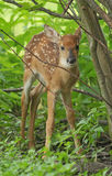 White-tailed Deer Fawn. Week old white-tailed deer fawn standing in forest opening, Michigan, USA Royalty Free Stock Images