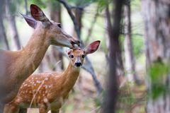 Free White-tailed Deer Fawn And Doe &x28;Odocoileus Virginianus&x29; Walking In The Forest In Ottawa, Canada Royalty Free Stock Photography - 104126587