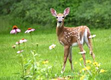 White Tailed Deer Fawn. Baby White Tailed Deer  (Odocoileus virginianus) stands amid flowers in a garden in eastern U.S Royalty Free Stock Photos