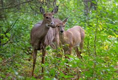 White-tailed deer fawn (Odocoileus virginianus) and doe in the forest in Canada stock images