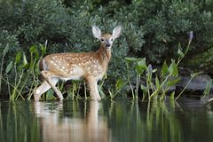 White-tailed Deer fawn drying off after a morning swim. A White-tailed Deer fawn Odocoileus virginianus heads to shore after a morning swim - Haliburton, Ontario stock photo