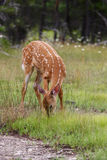 A White-tailed deer fawn foraging on the grass in the forest Royalty Free Stock Photo