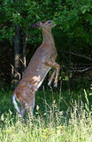 A White-tailed deer fawn foraging in the tree in the forest Stock Image
