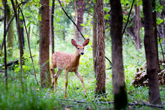 White-tailed deer fawn (Odocoileus virginianus) walking in the forest in Ottawa, Canada stock images