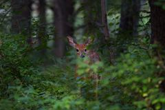 White-tailed deer fawn standing in the forest. White-tailed deer fawn in the forest Stock Photo
