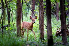 White-tailed deer fawn standing in the forest. White-tailed deer fawn in the forest Royalty Free Stock Photography