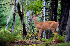 White-tailed deer fawn standing in the forest. White-tailed deer fawn in the forest Royalty Free Stock Images
