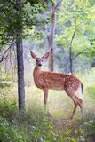 White-tailed deer fawn standing in the forest. White-tailed deer fawn in the forest Royalty Free Stock Photo