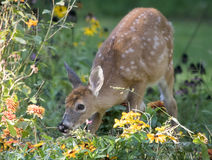 White Tailed Deer Fawn in Garden. Baby White Tailed Deer (Odocoileus virginianus) eating in a flower garden stock images