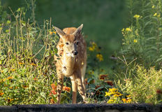 White Tailed Deer Fawn in Garden. Baby White Tailed Deer (Odocoileus virginianus) eating in a flower garden stock photo