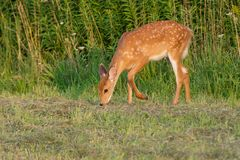 White-tailed Deer. Fawn grazing at the edge of a mown field. Lynde Shores Conservation Area, Whitby, Ontario, Canada Royalty Free Stock Photos