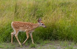 White-tailed deer fawn grazing in grassy field. White-tailed deer fawn grazing in a grassy field Royalty Free Stock Photos