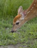 White-tailed deer fawn grazing in grassy field. White-tailed deer fawn grazing in a grassy field Royalty Free Stock Image