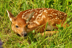 White-tailed deer fawn hiding. White-tailed deer fawn lying in grass hiding Stock Images