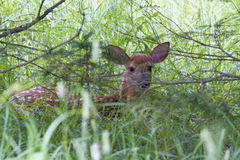 White tailed deer. Fawn hiding in the shaddy bushes Royalty Free Stock Photo