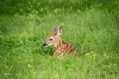 White-tailed deer Fawn in Poughkeepsie, NY Royalty Free Stock Photos