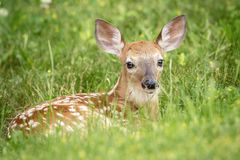 White-tailed deer Fawn in Poughkeepsie, NY Royalty Free Stock Photography