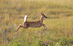 White tailed Deer fawn leaping in field Stock Photo