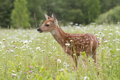 White tailed deer fawn looking alert. White tailed deer fawn with spots showing is standing in a meadow of wildflowers and looking alert Stock Images