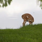 White-tailed deer fawn Royalty Free Stock Photo