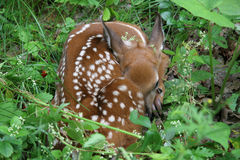 White-tailed deer fawn (Odocoileus virginianus). Curled up on the forest floor - Haliburton Highlands, Ontario, Canada royalty free stock image