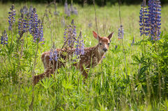 White-Tailed Deer Fawn Odocoileus virginianus Behind Lupin Stock Photos