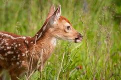 White-Tailed Deer Fawn Odocoileus virginianus Closeup Right. Captive animal Stock Photo
