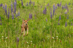 White-Tailed Deer Fawn Odocoileus virginianus Jumps Through Lu. Pin - captive animal Stock Photography