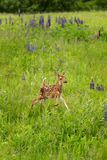White-Tailed Deer Fawn Odocoileus virginianus Jumps Right Stock Images
