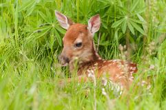 White-Tailed Deer Fawn Odocoileus virginianus Lies in the Gras. S - captive animal Royalty Free Stock Image