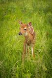 White-Tailed Deer Fawn Odocoileus virginianus Look Out in Gras. S - captive animal Stock Photography