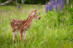 White-Tailed Deer Fawn Odocoileus virginianus Looking Right Ne. Ar Lupine Patch - captive animals Royalty Free Stock Photos