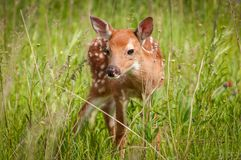 White-Tailed Deer Fawn Odocoileus virginianus Looks Out. Captive animal Stock Photography