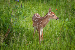White-Tailed Deer Fawn Odocoileus virginianus Looks Right Stock Images