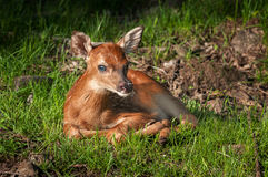 White-Tailed Deer Fawn (Odocoileus virginianus) Looks at Viewer Royalty Free Stock Photo