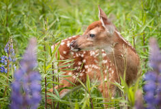 White-Tailed Deer Fawn Odocoileus virginianus in Lupin Stock Photo