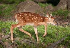 White-Tailed Deer Fawn (Odocoileus virginianus) Moves Right. Captive animal stock photography