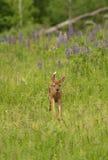 White-Tailed Deer Fawn Odocoileus virginianus Runs Forward in Royalty Free Stock Photos