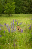 White-Tailed Deer Fawn Odocoileus virginianus Runs Forward. Captive animal Stock Image