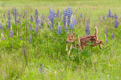 White-Tailed Deer Fawn Odocoileus virginianus Runs Past Lupin Royalty Free Stock Photography