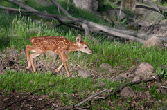 White-Tailed Deer Fawn (Odocoileus virginianus) Runs Right Stock Photography
