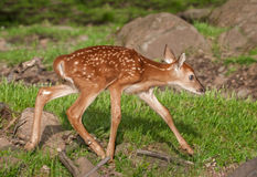 White-Tailed Deer Fawn (Odocoileus virginianus) Runs Right Stock Photos