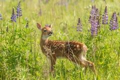 White-Tailed Deer Fawn Odocoileus virginianus Sniffs at Plant. Captive animal Stock Image