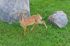 White-tailed deer fawn odocoileus virginianus Royalty Free Stock Image