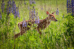White-Tailed Deer Fawn Odocoileus virginianus Stand in Lupin P Royalty Free Stock Photos