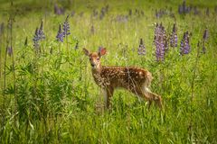 White-Tailed Deer Fawn Odocoileus virginianus Stands in Field. Captive animal Stock Images