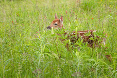 White-Tailed Deer Fawn Odocoileus virginianus Stands in Grass Royalty Free Stock Photos