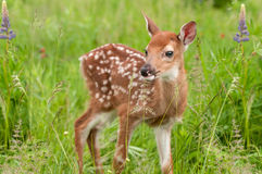 White-Tailed Deer Fawn Odocoileus virginianus Stands in Grasse Stock Images