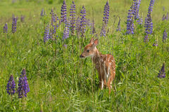 White-Tailed Deer Fawn (Odocoileus virginianus) Stands in Lupin Stock Images